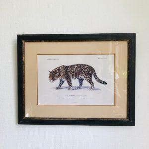 Dictionnaire Universel d'Histoire Naturelle luipaard